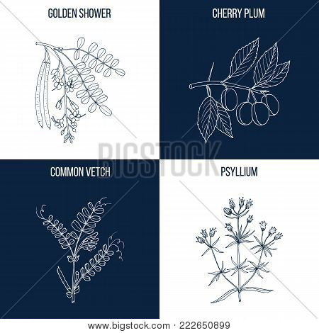 Vector collection of four hand drawn medicinal and eatable plants, golden shower, cherry plum, common vetch, psyllium