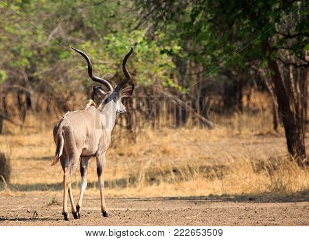 greater kudu walking across the bush with nice golden light in south luangwa national park, zambia