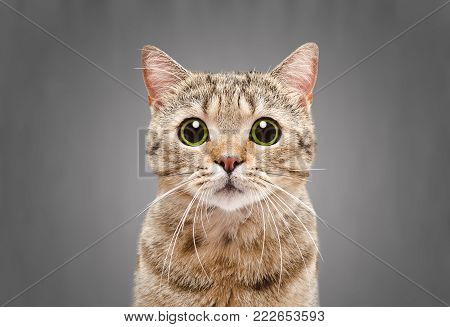Portrait of a beautiful cat Scottish Straight on a gray background