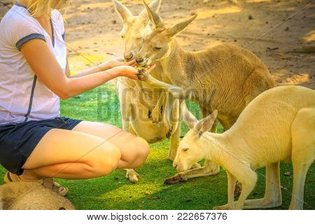 Closeup of two kangaroos eating from the hands of a young caucasian tourist woman at Caversham Wildlife Park in Whiteman, near Perth, Western Australia. Kangaroos are one of the icons of Australia.