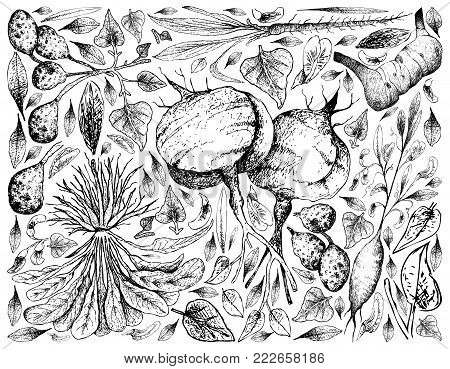 Root and Tuberous Vegetables, Illustration Background of Hand Drawn Sketch of Ulluco, Skirret, Scorzonera, Jicama, Galangal and Earthnut Pea Plants Isolated on White Background.