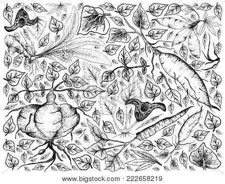 Root and Tuberous Vegetables, Illustration Background of Hand Drawn Sketch of Water Caltrop, Turmeric, Sweet Potato, Cassava, Burdock and Ahipa Plants on White Background.