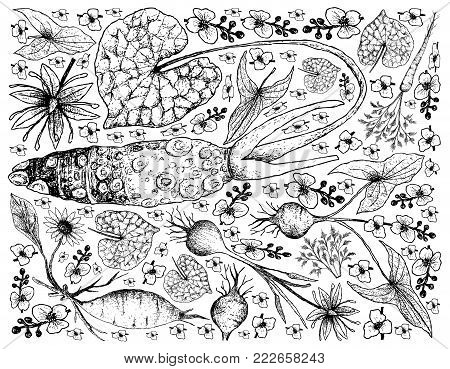 Root and Tuberous Vegetables, Illustration Background of Hand Drawn Sketch of Fresh Hamburg Parsley, Yacon, Wasabi, Camas and Broadleaf Arrowhead Plants Isolated on White Background.