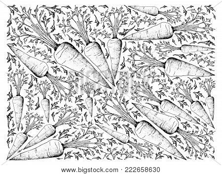 Root and Tuberous Vegetables, Illustration Hand Drawn Sketch of Fresh Orange Carrot with Leaves Isolated on White Background
