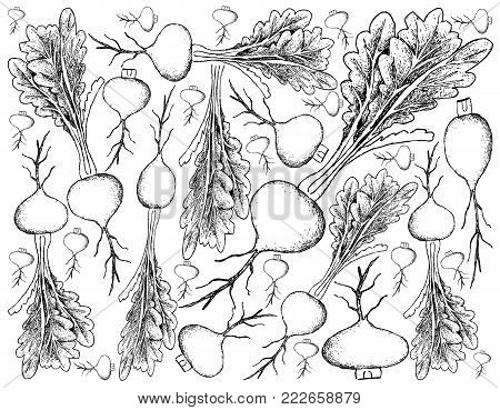 Root and Tuberous Vegetables, Illustration Hand Drawn Sketch of Fresh Prairie Turnip or Psoralea Esculenta Plants Isolated on White Background.