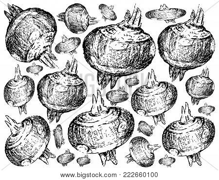 Root and Tuberous Vegetables, Illustration Hand Drawn Sketch of Water Chestnut or Eleocharis Dulcis Plant on White Background. Good Source of Dietary Fiber, Vitamins and Minerals.