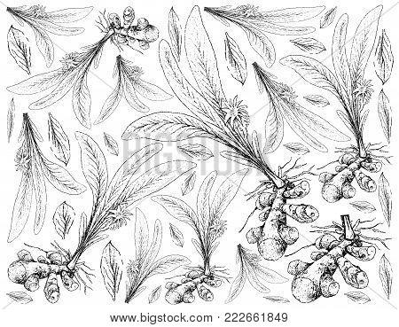 Root and Tuberous Vegetables, Illustration Hand Drawn Sketch of Turmeric or Curcuma Longa Plant on White Background. Good Source of Dietary Fiber, Vitamins and Minerals.