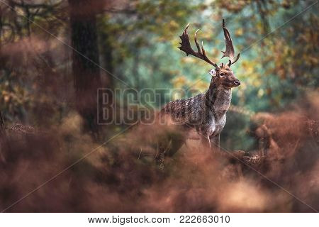 Red Deer Stag In Autumn Forest. North Rhine-westphalia, Germany