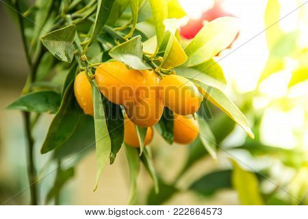 Orange Kumquat on the Tree, Exotic Fruits on branch and water drops on them with morning sun light effect. Close up shot.