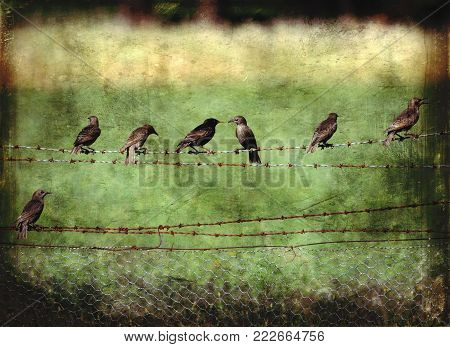 Grunge vintage textured starlings perched on a barbwire fence in the countryside