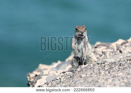 Small squirrel close to the ocean shore