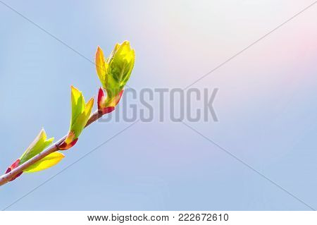 Spring has come, the first green. Nature wakes up. Dissolve the first leaves on the branches. Warm days. Kidney trees disclosed. A symbol of new life, hope, new business. A sunny spring day.