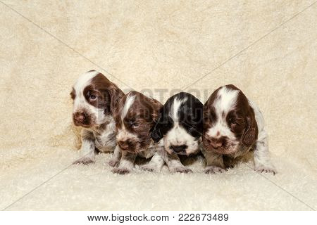 English Cocker Spaniel Dog Puppies