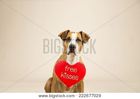 Staffordshire terrier puppy poses in studio background with valentine's day sign on shoulders. Lovely young pitbull terrier dog with