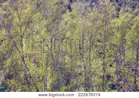 foliage of mapple on a blurry background of foliage