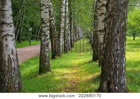 Beautiful avenue of birch trees in early fall in the estate of Leo Tolstoy at Yasnaya Polyana, Tula region, Russia. It leads from the gate of the estate to the writer's house