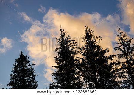 Ravens sitting on the tops of tall fir trees against the light (Ukraine, Carpathians, Dragobrat)