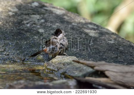 Sooty-headed bulbul ruffling its feathers to shake out the extra water and fluffs them up to dry in the air , Thailand