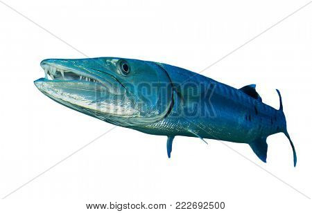 Great Barracuda fish isolated on white background