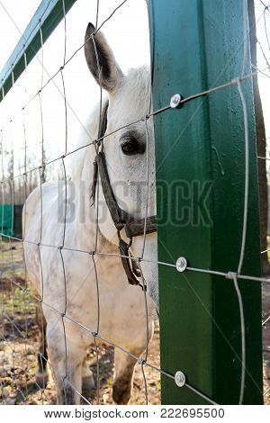 White horse behind the bar in the stables. Animal in a cage.