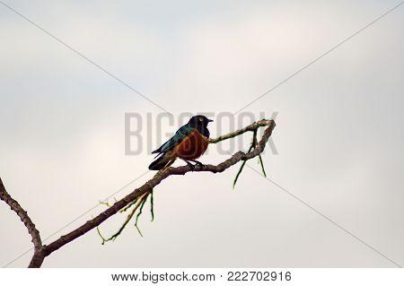 Blue and orange starling on an acacia in Maasai Mara Park North West Kenya