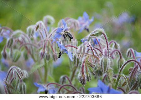 Borage, Borago officinalis blue flower also known as a starflower and honey bee insect. macro close up, selective focus.