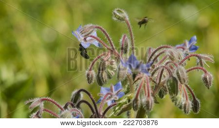 Borage, Borago officinalis blue flower also known as a starflower and honey bee insect. macro close up, selective focus. horizontal panorama