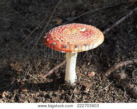 Flybane mushroom with red dappled hat in forest at Moravian-Silesian Beskids mountains in Czech Republic in 2017 warm autumn day, Europe on September.