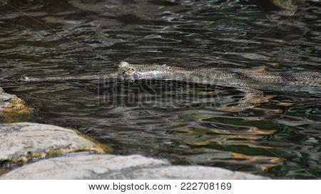 Gharial crocodile looking very menacing in the water.