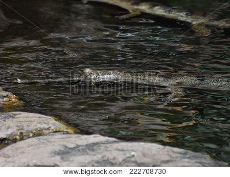 Menacing Looking Crocodile Swimming In A River.