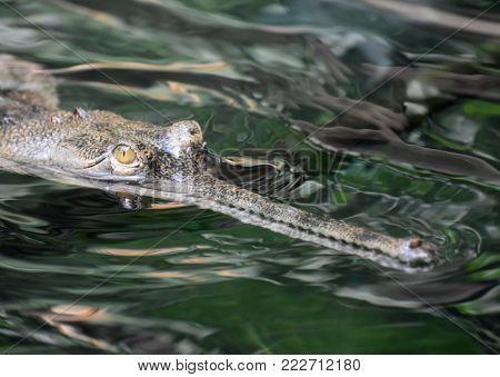 Menacing gavial crocodile swimming in a river.