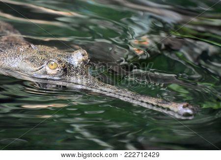 Menacing looking gavial crocodile in a river.