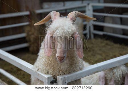 Mohair goat - Angora goat in farm