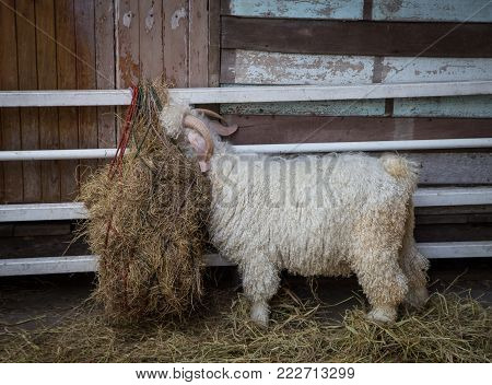 Angora goat eating grass in the farm