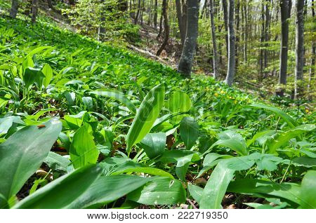 Wild garlic ramson or bear garlic growing in forest in spring. Ramson field under a mountain