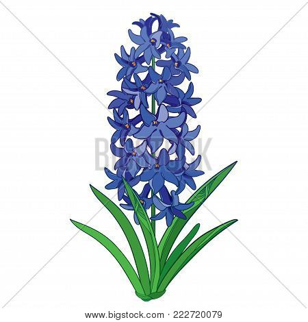 Vector bouquet with outline Hyacinth flower bunch in blue, bud and ornate green leaves isolated on white background. Fragrant bulbous plant in contour style for spring design.