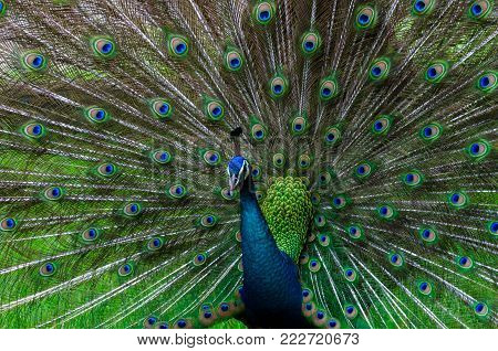 peacock,peacock Beautiful tail show pattern Green spot pavo cristatus