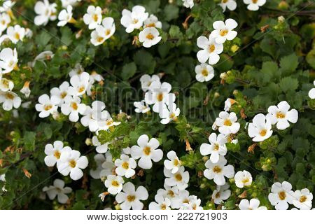 Soft focus of white Ornamental Bacopa flower with yellow pollen (Chaenostoma cordatum)