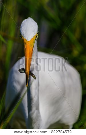 A Great Egret with his catch in the swamp at Everglades National Park, Florida, November 2017