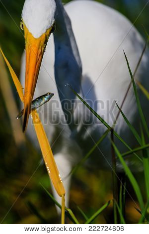 A Great Egret gets his meal entangled in blades of grass at Everglades National Park, Florida, November 2017