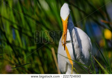 A Great Egret struggles with the grass in his food at Everglades National Park, Florida, November 2017