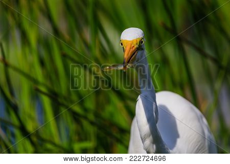 A Great Egret with a small fish in its beak at Everglades National Park, Florida, November 2017