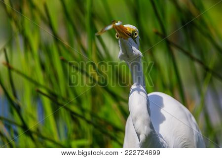 A Great Egret just before he swallows a fish whole at Everglades National Park, Florida, November 2017