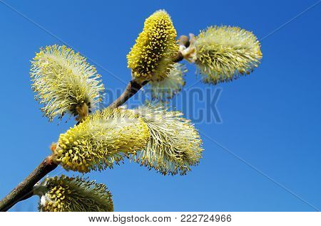 Bush of the flowering osier by springtime on background blue sky