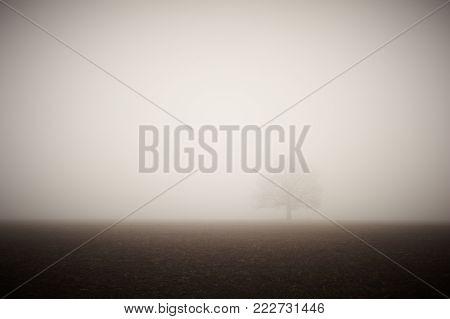 lonely bare oak in a field in a dense fog