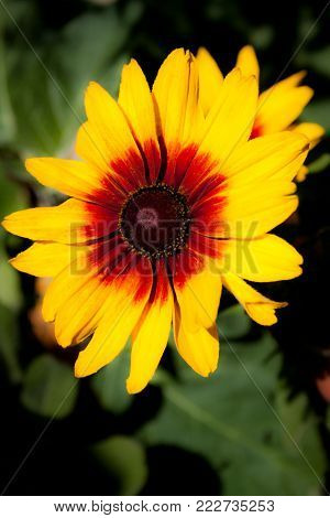 Nice detail on a big yellow flower with petals in red and intense yellow