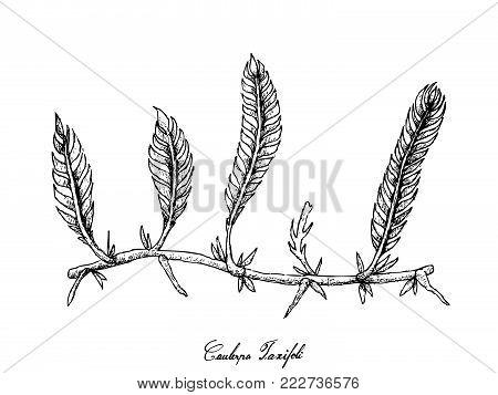 Sea Vegetables, Illustration of Hand Drawn Sketch Killer Algae or Caulerpa Taxifoli Seaweed Isolated on White Background.