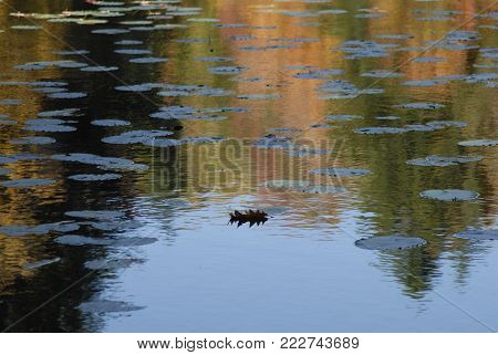 Fall Oak Leaf on the water with Lilly Pads