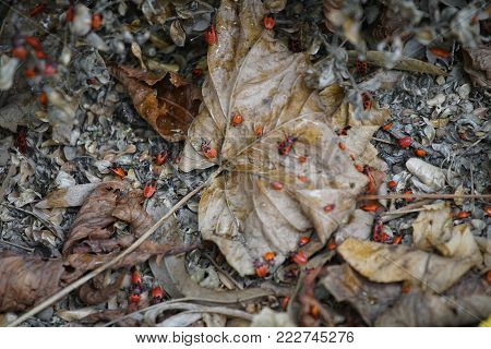 Firebug (pyrrhocoris Apterus) Group Of Insects On The Leaves On The Ground