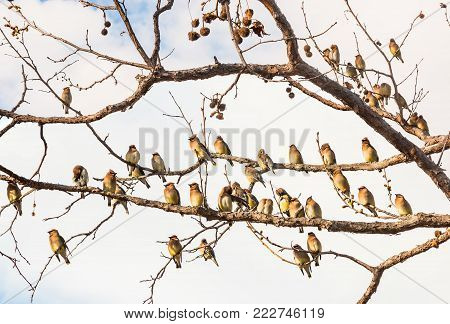 A flock of Cedar Waxwing birds resting amongst bare tree branches.